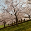 さくら旅2018~鳥取の桜