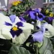 近所の花壇の花