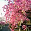 またまたしだれ桜ぁ~🌠