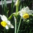 水仙の開花