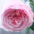 2018年薔薇