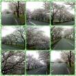 2017年4月桜並木