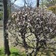 近所の公園の春:ユスラウメ、レンギョウ、ヒュウガミズキ