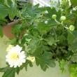 我が家の菊の鉢植え10個