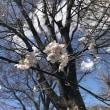 平間公園桜開花情報 3