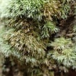 須津川奥のコケ:杉の幹につくコケ