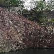 ◆ 外堀のソメイヨシノが咲き始めました