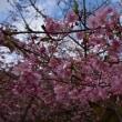 古田のカワヅサクラが開花!