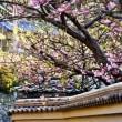 波切・大慈寺のてんれい桜 (河津桜)