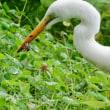皇居・お堀の野鳥たち