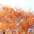 縁起の良い木とされるスイショウの黄葉と、赤く熟れたサンシュユなどの木の実