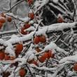 柿の雪帽子