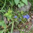 千畳敷カールに咲いていたお花