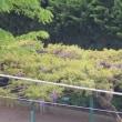 小さな公園の藤棚