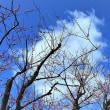 御所の梅の花