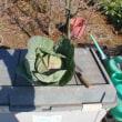 キャベツの初収穫