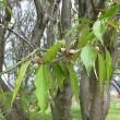 Prunus davidiana ❛Soshun Shoryu❜