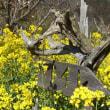 菜の花と看板