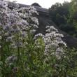 我が家のジョウロウホトトギス今年も咲く&鱗雲の下、鑓水板木の杜緑地を散策