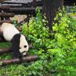 パンダに大興奮 北京動物園