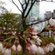 天王寺の桜