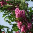 ニセアカシア(赤い花)