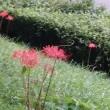 今年も利根運河に曼珠沙華咲き始めました!