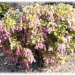 早春に咲き始める花(^^♪馬が葉を食べれば酔ったようになって足がなえる「馬酔木(あせび)」