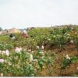 ドイツ村のベゴニアとバラ