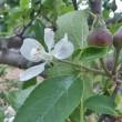 リンゴとミカン 同時開花