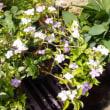 ニオイバンマツリの花色
