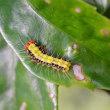 久々にサツマニシキの幼虫を見てきました