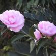 道辺のピンクの山茶花と紫と黄色と白の菊「泉郷越前」