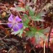 丸沼高原ロープウエイに乗って紅葉狩り  10/14誕生花・・アメリカンブルー