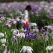 菖蒲の花が満開