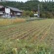 自然菜園スクール(ソバ刈り、雑穀の脱穀)