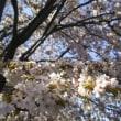 マイナスイオンと桜狩り