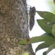 茅ヶ崎の蝉