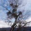 ブナ の古木と ヤドリギ と