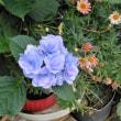 紫陽花には雨模様が良く似合う