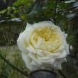 また咲いてます。バラのイクセクローン・スペリオン