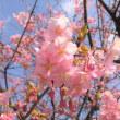 河津桜が満開になった お寺の境内で