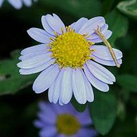 コヨメナ(インドヨメナ)の花