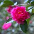 ピンク & レッド の 山茶花 満開でした