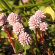 12月のヒメツルソバとツワブキの花