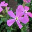ピンクパンサーの花は