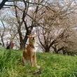 これで桜も終わりかなぁ~。