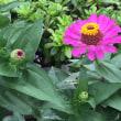 オサンポ walk - 花に蝶(蛾?) 2 a butterfly on the flower