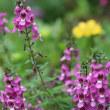 アンゲロニアの花