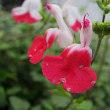 チェリーセージという花